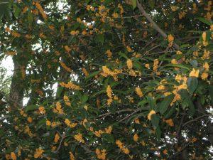 満開のキンモクセイの花