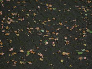 地面に落ちて散らばった銀杏の実