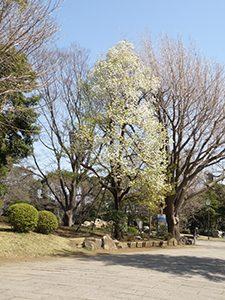 白い花の咲いたヤマナシの木