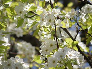 ヤマナシの白い花
