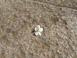 がくから切り取られて花ごと落ちたヤマナシの花