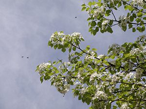 ヤマナシの花の周りを数匹の昆虫が飛ぶ