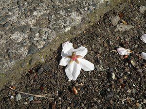 がくから落ちたサクラの花 花びらはがくに付いたまま