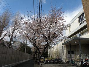 八分咲きのソメイヨシノ