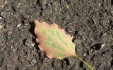 地面に落ちたクスノキの葉