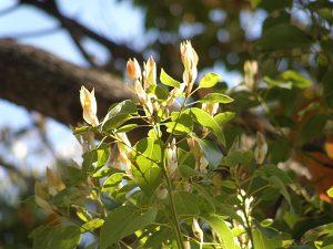 枝先から新しい葉が伸びるのが見える