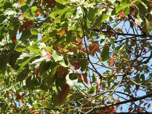 緑の葉の中に落ちかけの赤い葉が見える