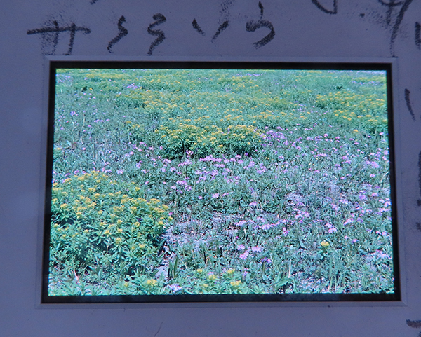 後ろから光を当てたポジフィルムの画像。サクラソウが写る。