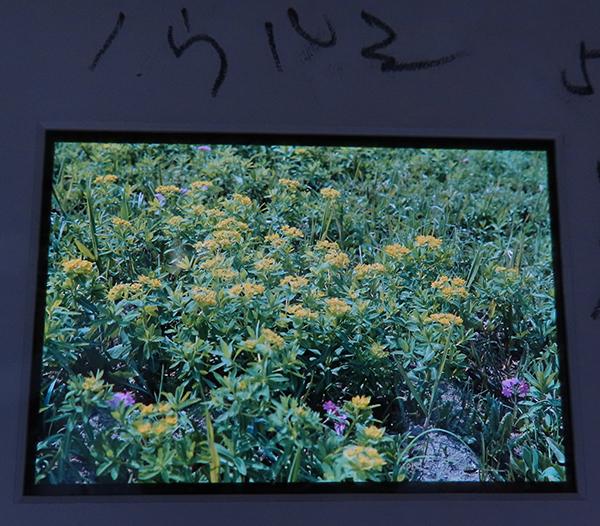 後ろから光を当てたポジフィルムの画像。ノウルシが写る。