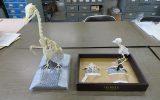 骨格標本の納品