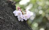 幹の上に固まって咲く桜の花