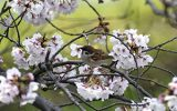 サクラの花をくわえるスズメ