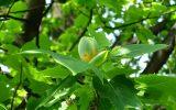 ユリノキの花が咲き始めました