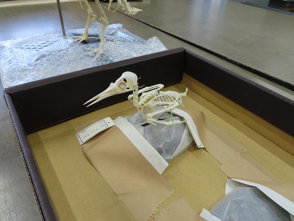 コアジサシの骨格標本。